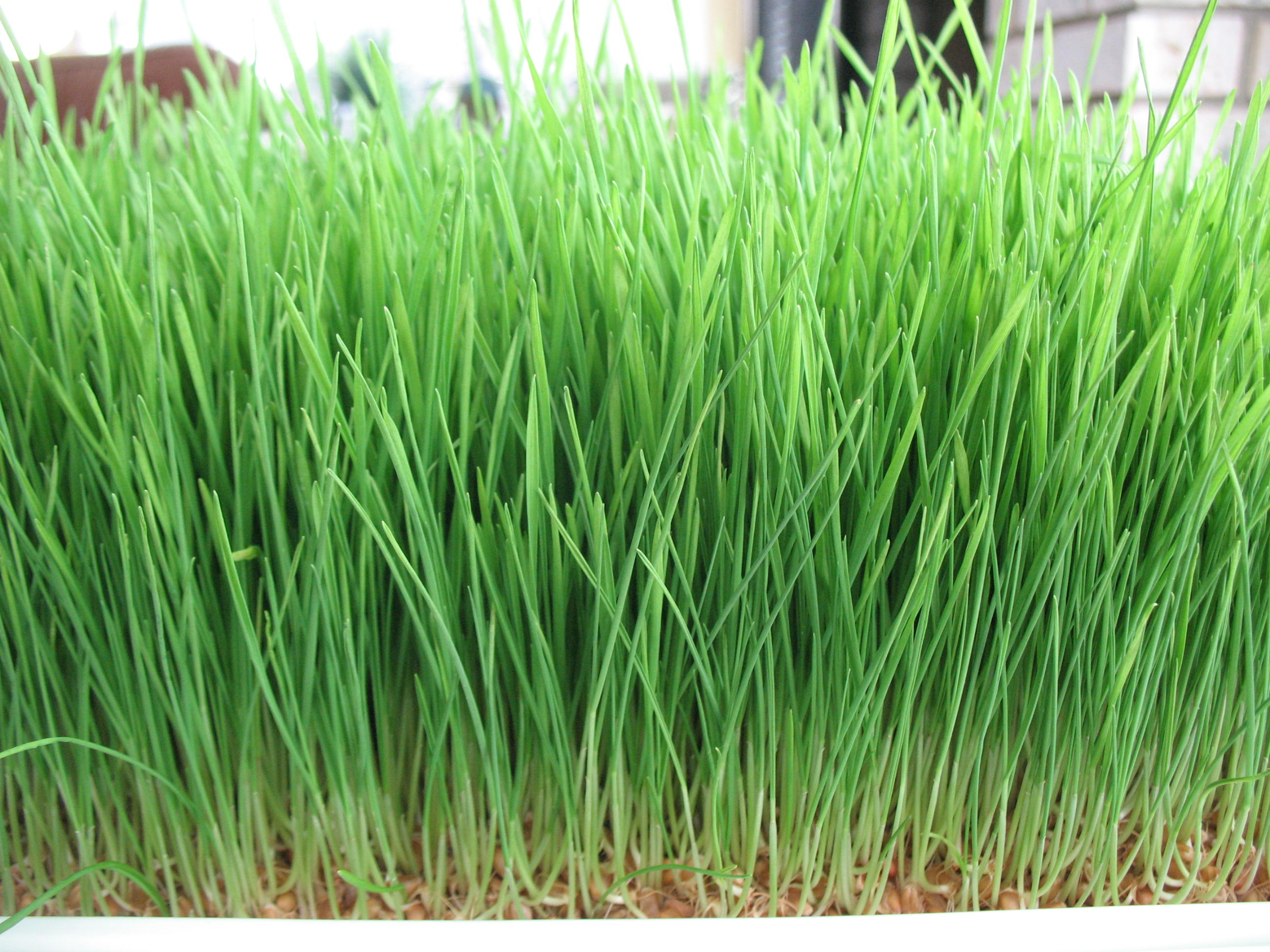 Learn to grow wheatgrass