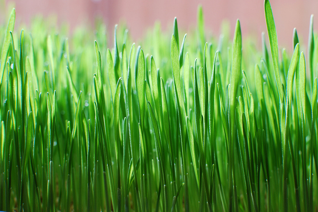 Photo of Blades of wheatgrass