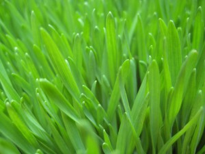 zoom in on wheatgrass blades