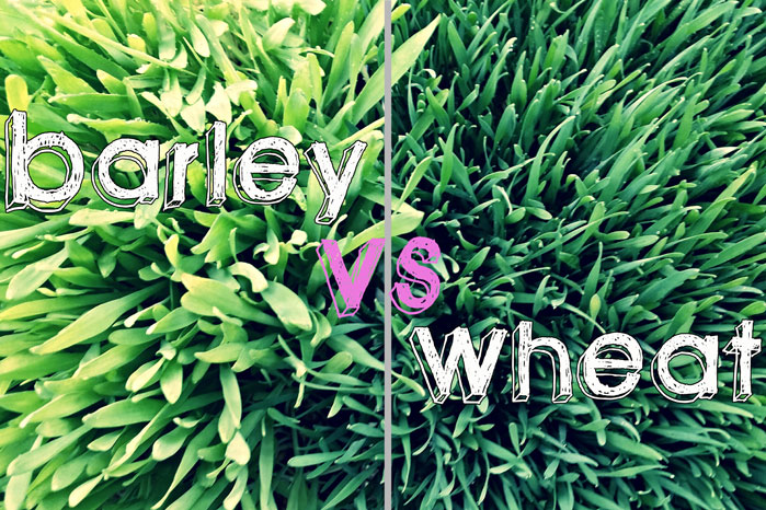 Barley grass vs wheat grass